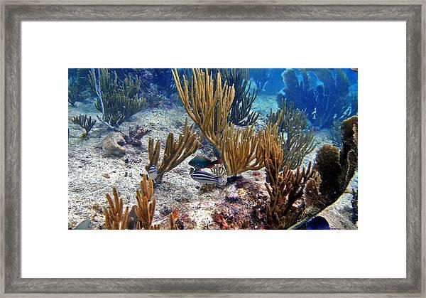 Gorgonian Parrotfish Framed Print