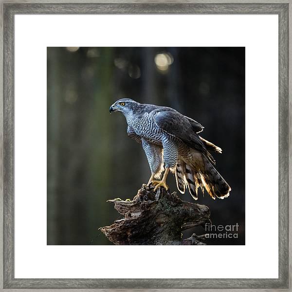 Goshawk Is Sitting On The Tree Stump Framed Print