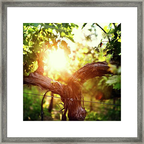 Grape Vine And Trunk In Late Spring Framed Print