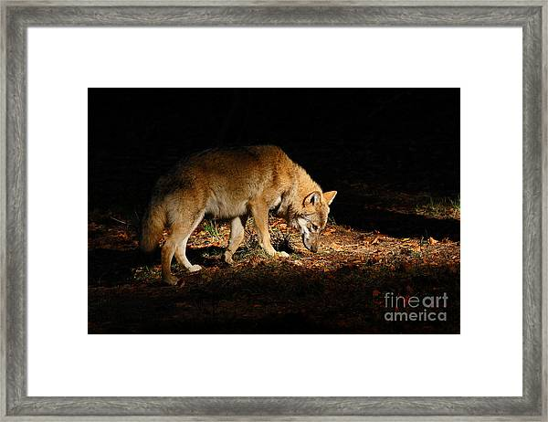 Gray Wolf, Canis Lupus, Hidden In The Framed Print
