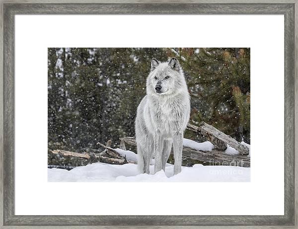 Gray Wolf Framed Print by David Osborn