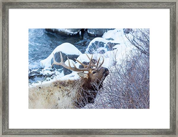 Grazing Elk Framed Print