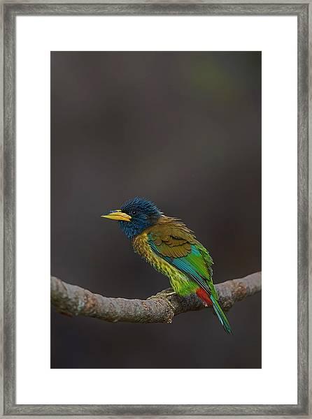 Great Barbet Framed Print