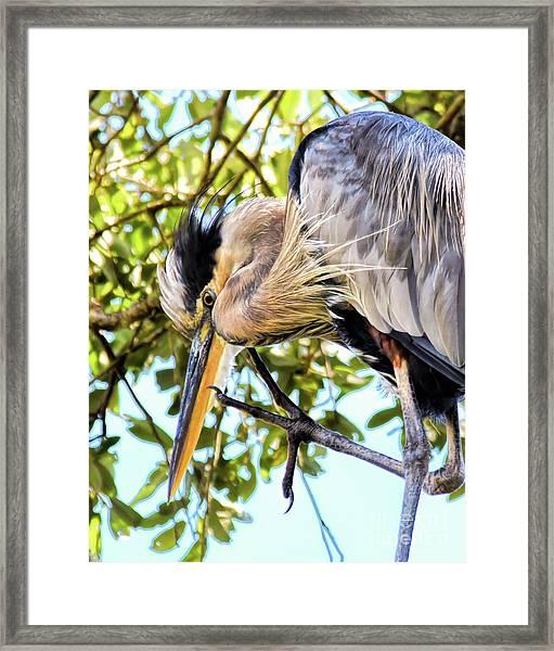 Great Blue Heron Close Up Framed Print
