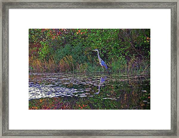 Great Blue Heron In Autumn Framed Print
