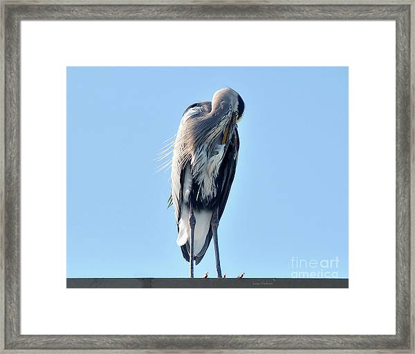 Great Blue Heron Preening On A Roof Framed Print