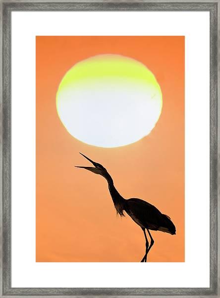 Great Blue Heron, Screeching, Sunset Framed Print