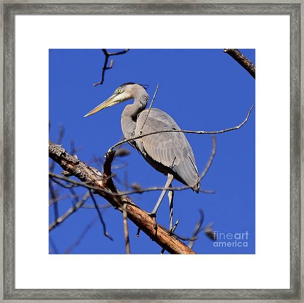 Great Blue Heron Strikes A Pose Framed Print