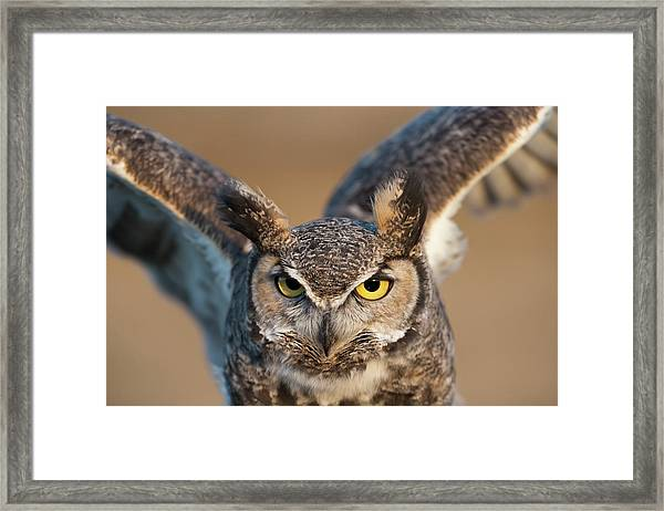 Great-horned Owl Bubo Virginianus Framed Print