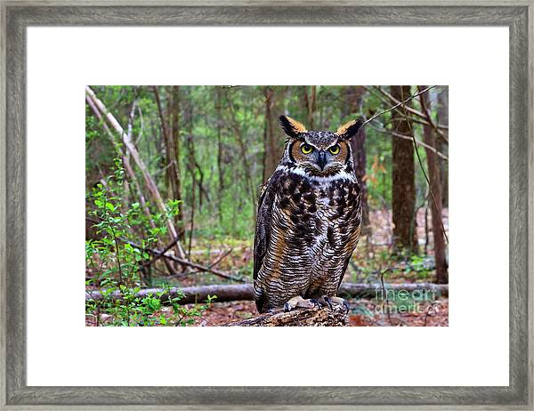 Great Horned Owl Standing On A Tree Log Framed Print