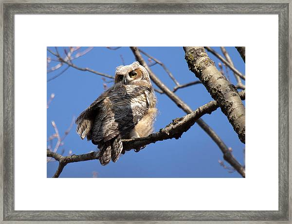 Great Horned Owlet 42915 Framed Print