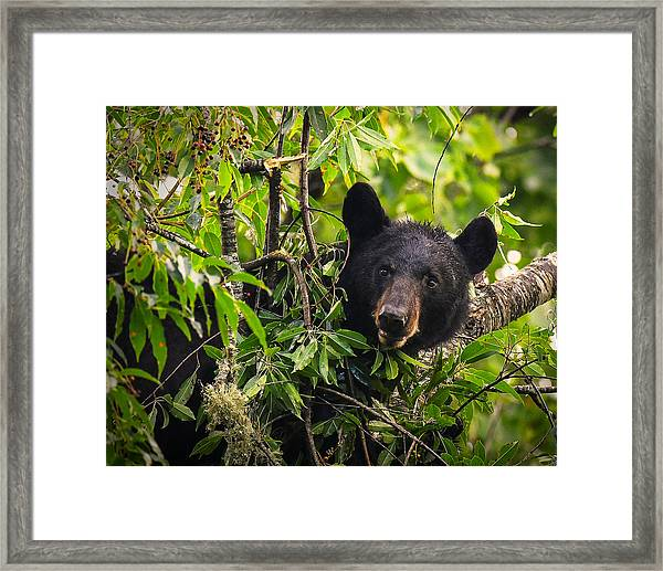 Great Smoky Mountains Bear - Black Bear Framed Print