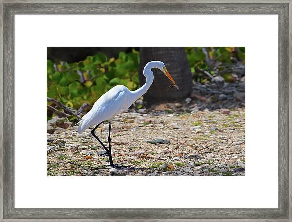 Great White Egret Hunter Framed Print