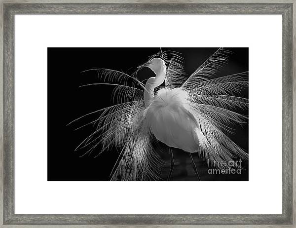 Great White Egret Portrait - Displaying Plumage  Framed Print