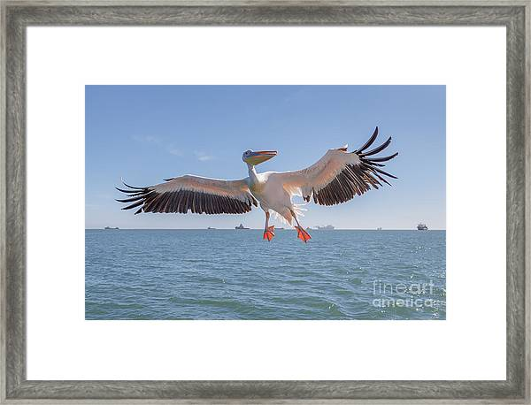Great White Pelican Catches Fish Thrown Framed Print