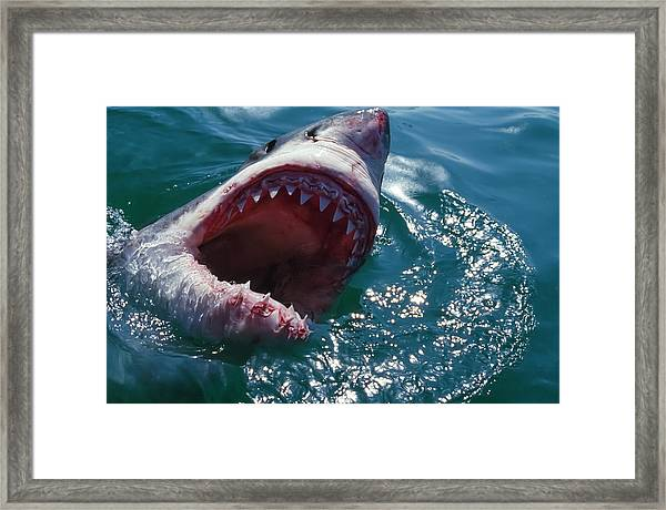 Great White Shark, Near Gansbaii, South Framed Print by Stuart Westmorland