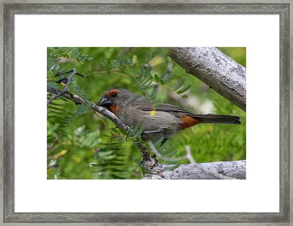 Greater Antillean Bullfinch Framed Print