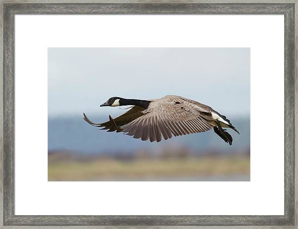 Greater Canada Goose Alighting Framed Print by Ken Archer