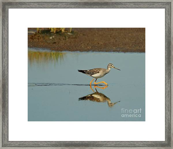 Greater Yellowlegs  Framed Print