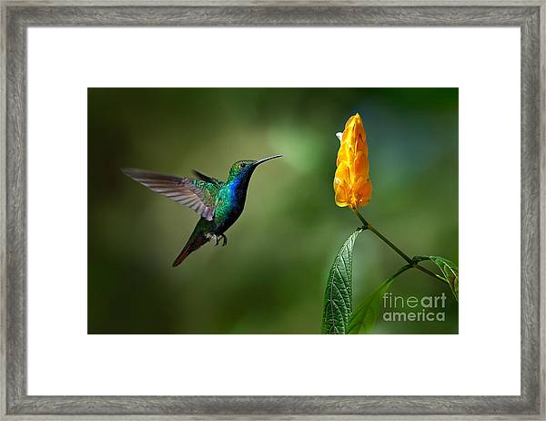 Green And Blue Hummingbird Framed Print