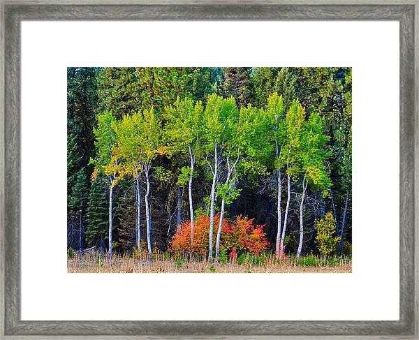 Green Aspens Red Bushes Framed Print