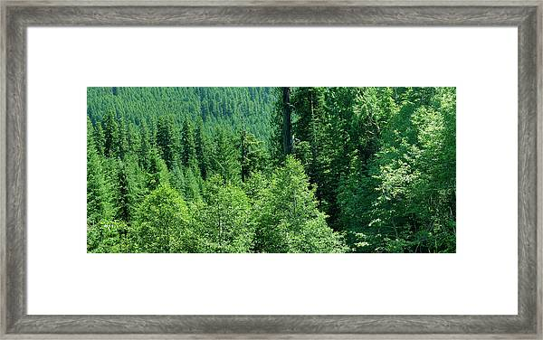 Green Conifer Forest On Steep Hillside  Framed Print