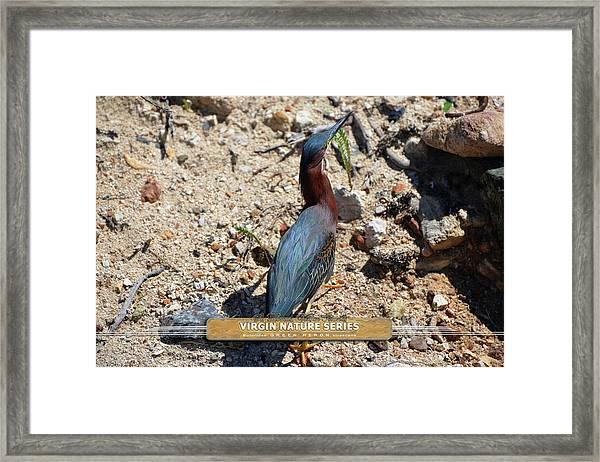 Green Heron Strut - Virgin Nature Series Framed Print
