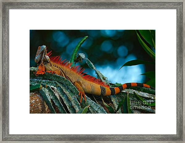 Green Iguana, Iguana Iguana, Portrait Framed Print