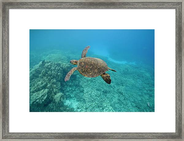 Green Sea Turtle, Big Island, Hawaii Framed Print