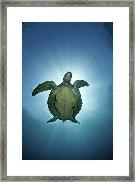 Green Sea Turtle Over Sun Framed Print