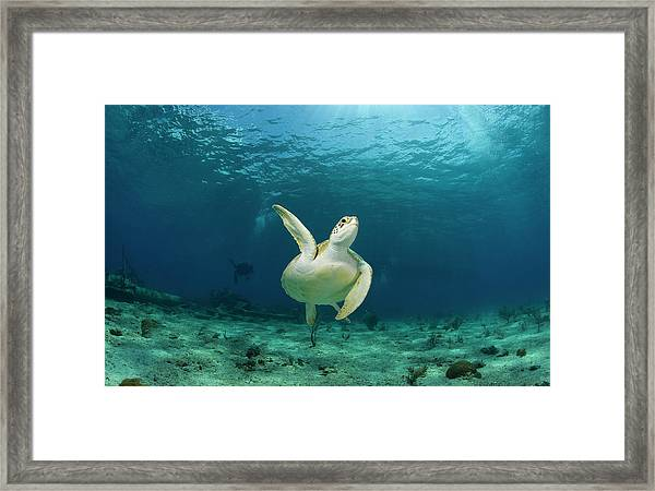 Green Turtle Chelonia Mydas Swimming Framed Print