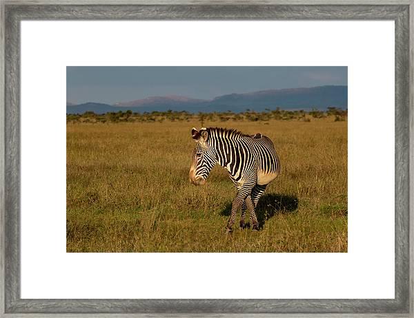 Grevy's Zebra Framed Print