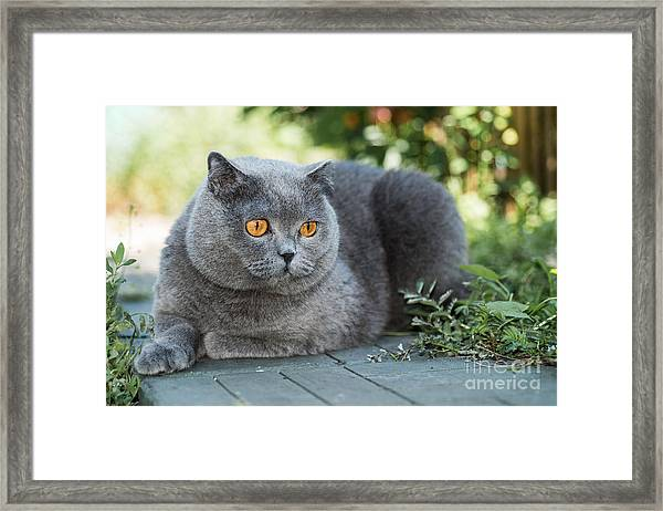 Grey British Cat Lying In The Green Framed Print