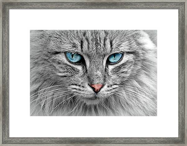 Grey Cat With Blue Eyes Framed Print