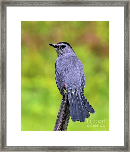 Grey Catbird Framed Print