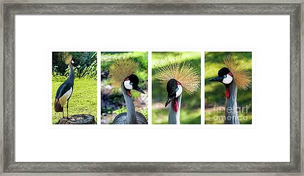 Grey Crowned Crane Gulf Shores Al Collage 1 Framed Print