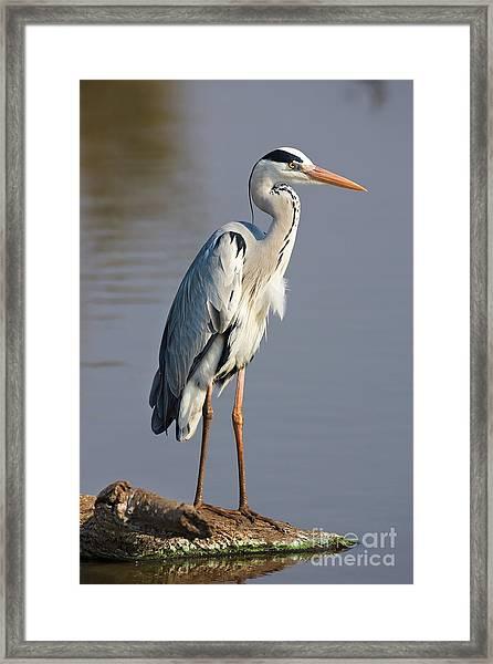 Grey Heron  Ardea Cinerea  South Africa Framed Print by Johan Swanepoel