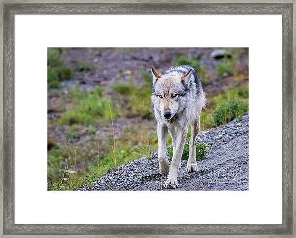 Grey Wolf In Denali National Park, Alaska Framed Print