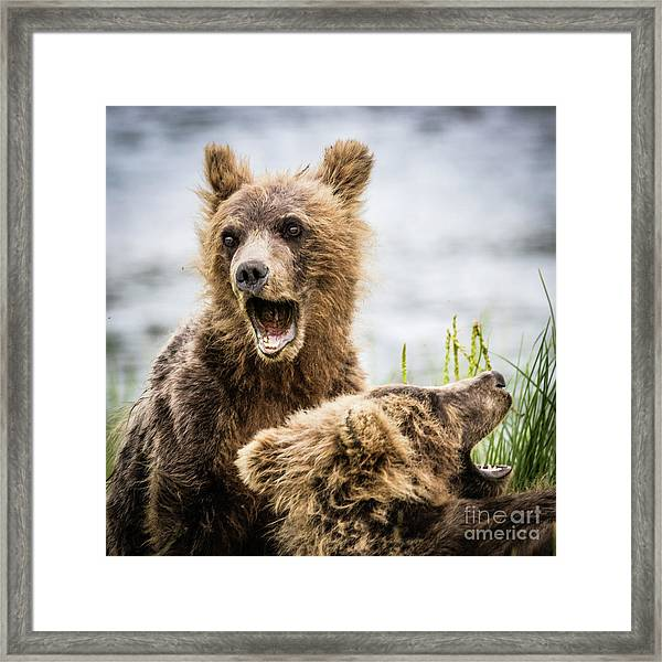 Grizzly Cubs Looking For Their Mum Framed Print
