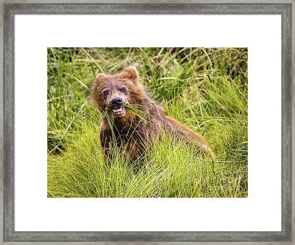 Grizzly Cub Grazing, Alaska Framed Print