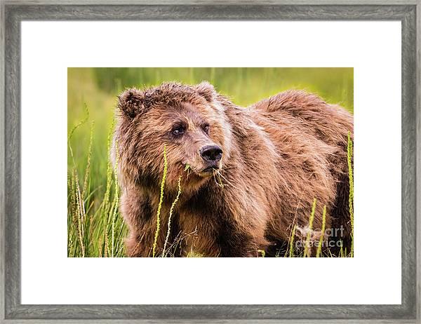 Grizzly In Lake Clark National Park, Alaska Framed Print