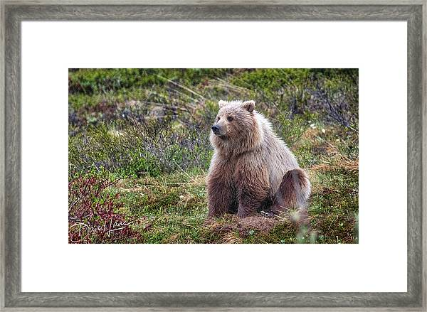 Framed Print featuring the photograph Grizzly Sitting by David A Lane