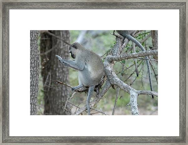 Grooming Or Reading Framed Print