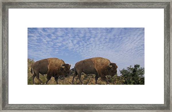 Group Of Bison Walking Against Rocky Mountains  Framed Print