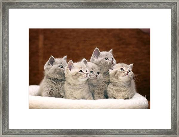 Group Of Cute Gray British Kittens Framed Print