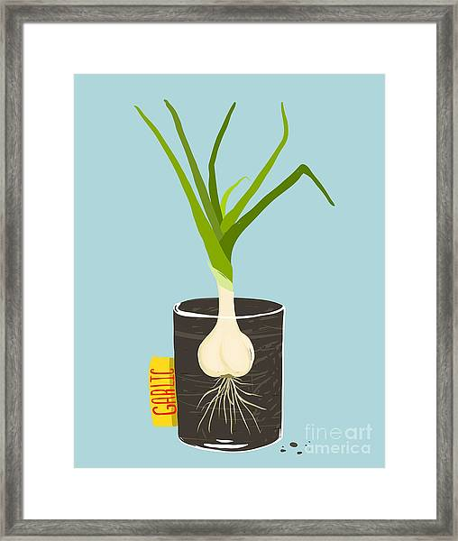 Growing Garlic With Green Leafy Top In Framed Print