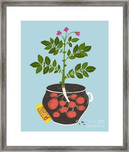 Growing Potato With Green Leafy Top In Framed Print