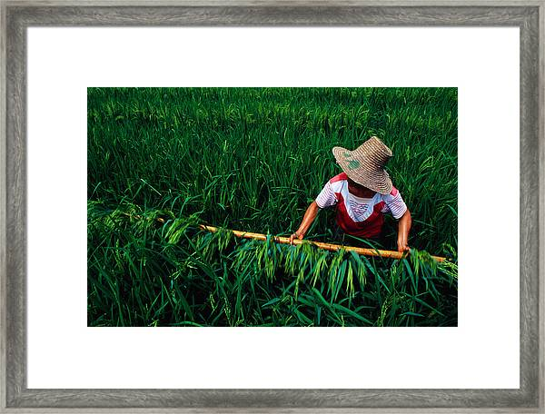 Growing Rice, China, North-east Asia Framed Print