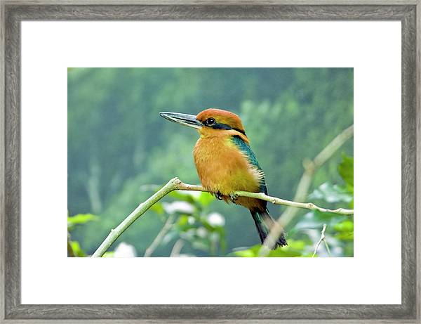 Guam Micronesian Kingfisher Framed Print by By Ken Ilio