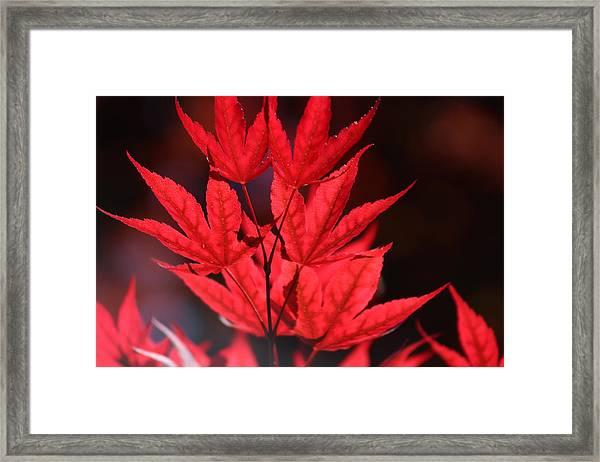 Guardsman Red Japanese Maple Leaves Framed Print